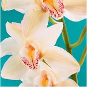 orchid wedding flowers Cymbidium Orchids