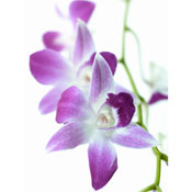 orchid wedding flowers Dendrobium Orchids