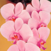 orchid wedding flowers Phalaenopsis Orchids