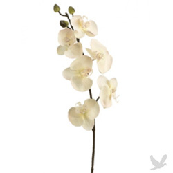 Orchid branch with cream colored phalaenopsis orchids.