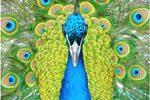 <b>Color Inspired Peacock Wedding Favors</b>