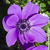 Purple Wedding Flowers - Anemone