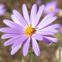 Purple Wedding Flowers - Aster