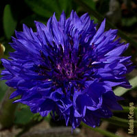 Purple Wedding Flowers - Cornflower