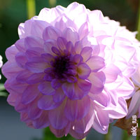 Purple Wedding Flowers - Dahlia