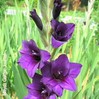 Purple Wedding Flowers - Gladiolus