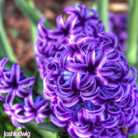 Purple Wedding Flowers - Hyacinth