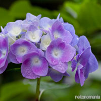 Purple Wedding Flowers - Hydrangea