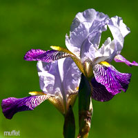 Purple Wedding Flowers - Iris