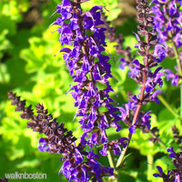 Purple Wedding Flower - Larkspur