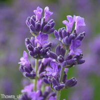 Purple Wedding Flowers - Lavender