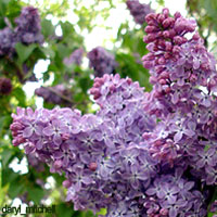 Purple Wedding Flowers - Lilacs