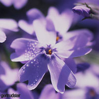 Purple Wedding Flowers - Phlox