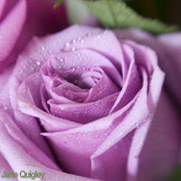 Purple Wedding Flowers - Roses