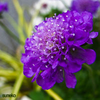 Purple Wedding Flowers - Scabiosa