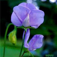 Purple Wedding Flowers - Sweet Pea