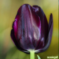 Purple Wedding Flowers - Tulips