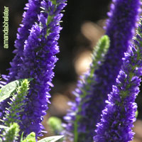 Purple Wedding Flowers - Veronica