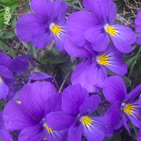 Purple Wedding Flowers - Violets